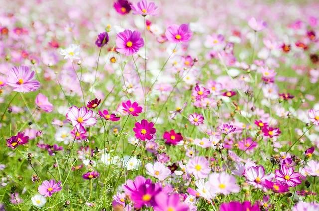 Free photo: Cosmos Field, Cosmos Wind - Free Image on Pixabay - 950004 (381)