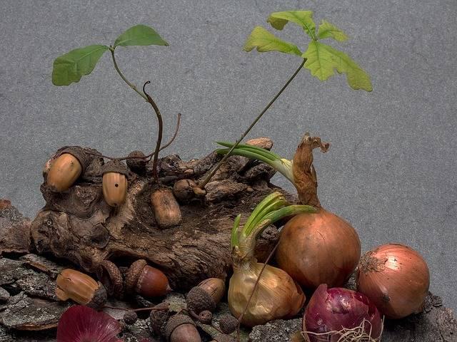 Free photo: Acorns, Germination, Seedling - Free Image on Pixabay - 1476284 (802)
