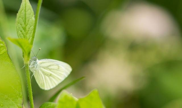 Free photo: White, Butterfly, Macro, Insect - Free Image on Pixabay - 1976728 (806)
