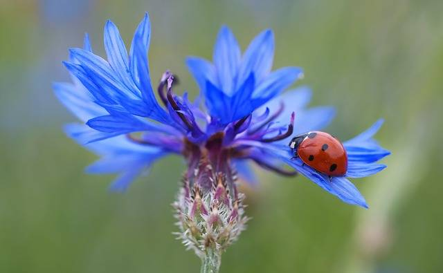 Free photo: Cornflower, Ladybug, Siebenpunkt - Free Image on Pixabay - 102585 (1839)