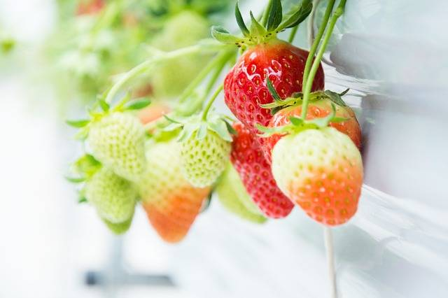 Free photo: Strawberry, Red, Green, Fruit, Stem - Free Image on Pixabay - 1714323 (2071)