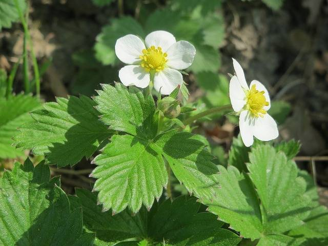 Free photo: Fragaria Vesca, Wild Strawberry - Free Image on Pixabay - 855375 (2072)