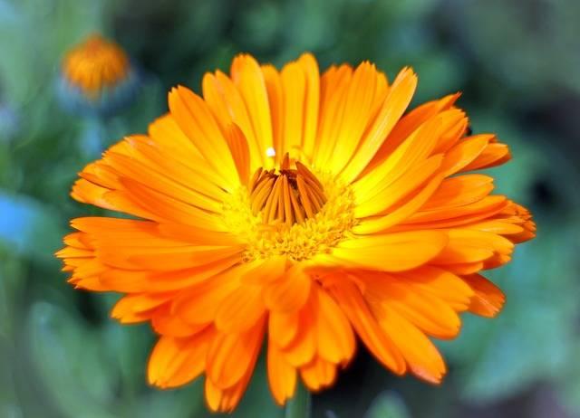Free photo: Blossom, Bloom, Marigold, Gardening - Free Image on Pixabay - 373853 (2327)