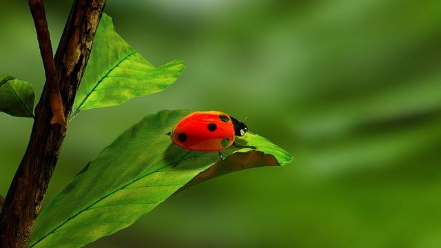 Free illustration: Ladybird, Leaf, Green, White, Red - Free Image on Pixabay - 163480 (2331)