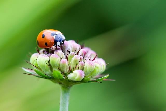 Free photo: Ladybug, Coccinellidae, Siebenpunkt - Free Image on Pixabay - 1705830 (2332)