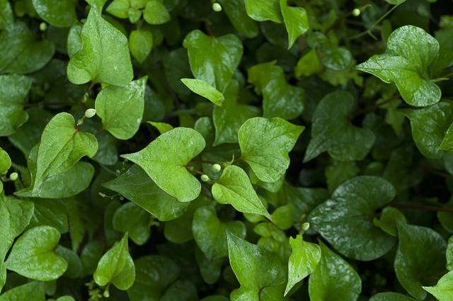 Free photo: Houttuynia Cordata, Wet, Green - Free Image on Pixabay - 839047 (4494)