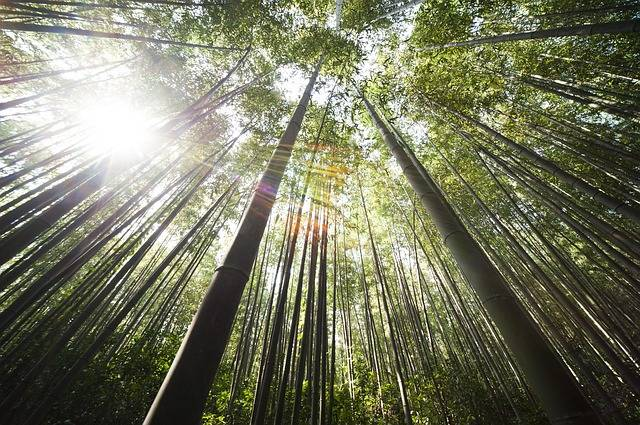Free photo: Bamboo, Damyang, Sunshine - Free Image on Pixabay - 364112 (4522)