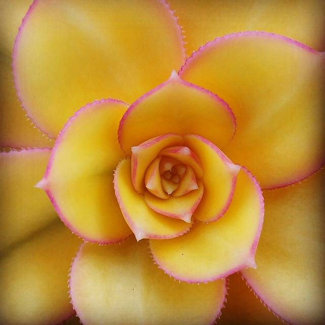 Free photo: Succulent, Flora, Yellow - Free Image on Pixabay - 1524299 (4557)