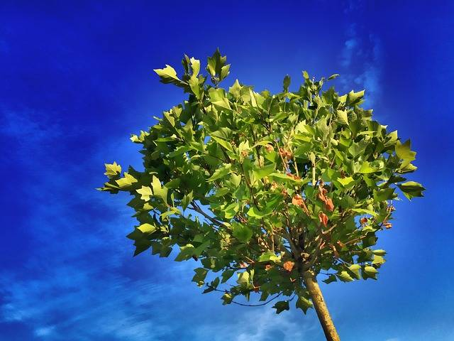Free photo: Tree, Maple, Blue, Leaves, Green - Free Image on Pixabay - 824429 (5328)
