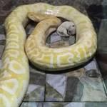 【炎上】ニシキヘビの餌に可愛い子犬!?中国の動物園、餌やり方法に批判殺到