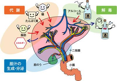 肝臓の働き l 肝機能の数値・肝臓の数値を調べる肝機能ナビ