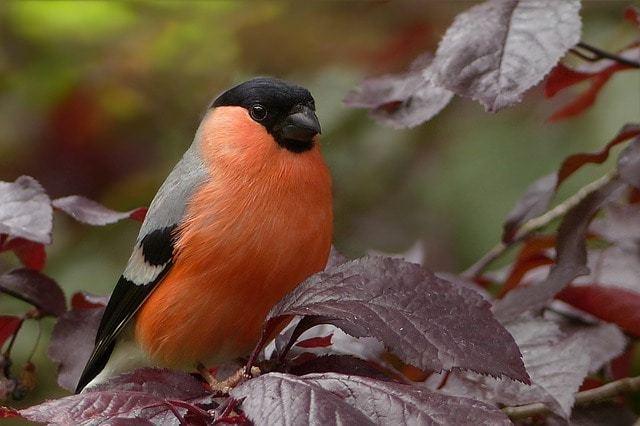 Free photo: Bullfinch, Bird, Sitting, Tree - Free Image on Pixabay - 818188 (569)