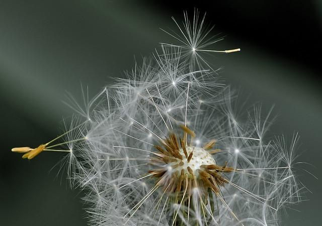 Free photo: Dandelion, Blowball, Seeds, Wind - Free Image on Pixabay - 411756 (1525)