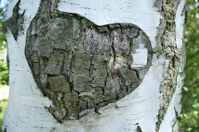 Free photo: Birch, Tree, Bark, Heart, Love - Free Image on Pixabay - 1593725 (3245)