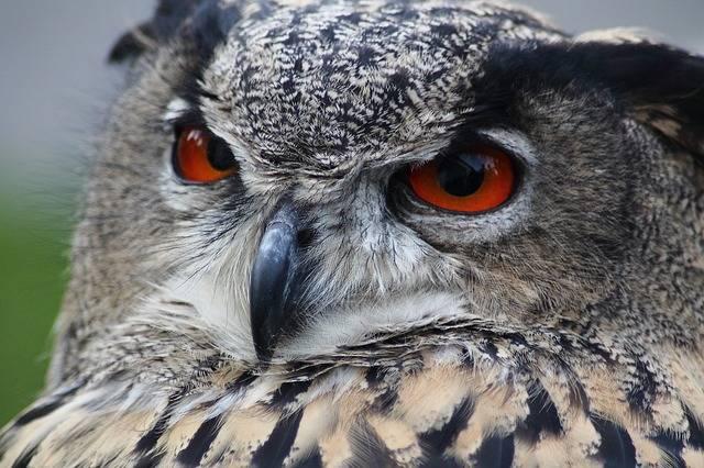 Free photo: Eagle Owl, Bubo Bubo, Owl, Bird - Free Image on Pixabay - 184567 (3319)