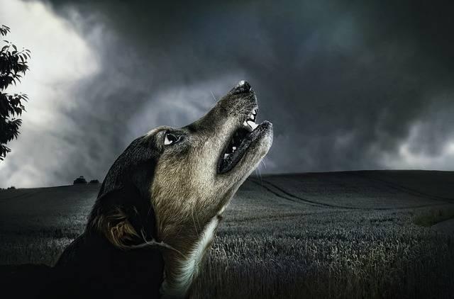 Free photo: Dog, Dark, Howl, Moonlight, Animal - Free Image on Pixabay - 183288 (3428)