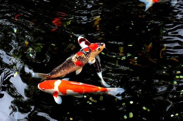 Free photo: Water, Fish, Japan, Carp, Animal - Free Image on Pixabay - 1912606 (3583)