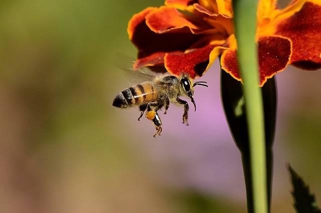 Free photo: Bee, Sting, Honey Bee, Wings, Honey - Free Image on Pixabay - 259983 (7527)
