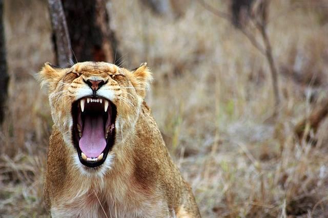Free photo: Leo, Animal, Savannah, Lioness - Free Image on Pixabay - 350690 (8330)