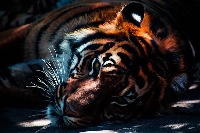 Free photo: Tiger, Wildlife, Animal, Cat - Free Image on Pixabay - 768574 (9711)