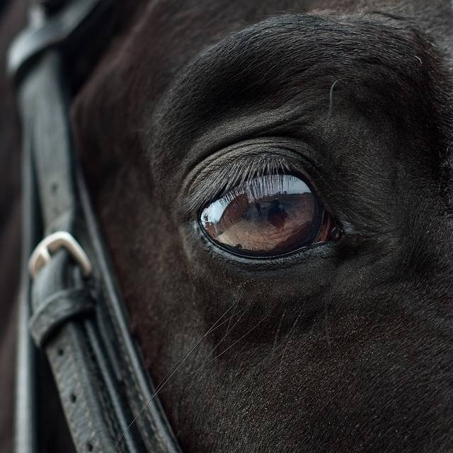 Free photo: Horse, Eye, Mirror, Reflection - Free Image on Pixabay - 2112196 (10722)