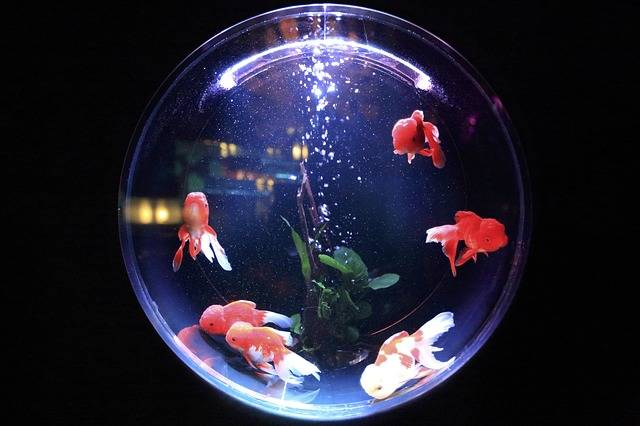 Free photo: Fish Bowl, Fish, Glass, Water, Bowl - Free Image on Pixabay - 846060 (12072)