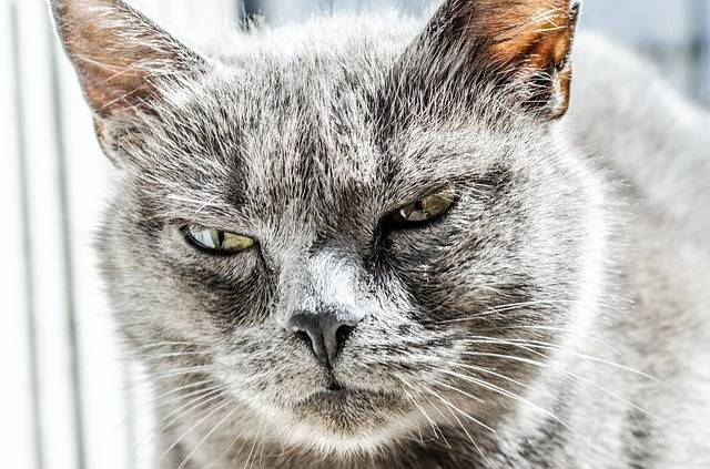 Free photo: Cat, Angry, Unhappy, Wild, Black - Free Image on Pixabay - 334383 (15872)