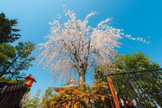 Free photo: Sakura, Tokyo, Japan, Cherry - Free Image on Pixabay - 725800 (18825)