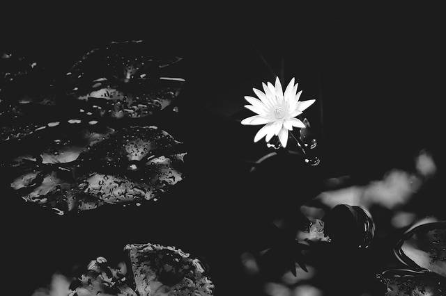Free photo: Water Lily, Lily, Water, Nature - Free Image on Pixabay - 1015215 (22394)