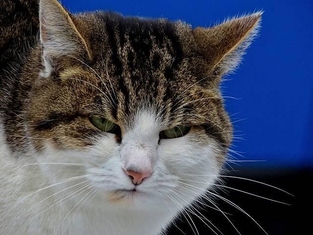 Free photo: Cat, Grumpy, Mood, Bad, Portrait - Free Image on Pixabay - 1950632 (29720)