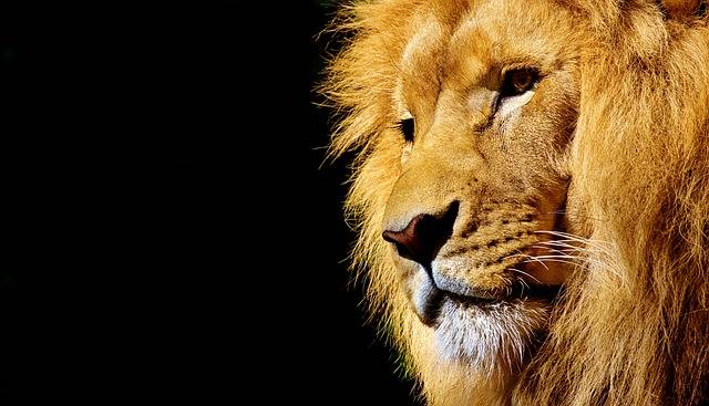 Free photo: Lion, Wild Animal, Dangerous - Free Image on Pixabay - 2327225 (31336)