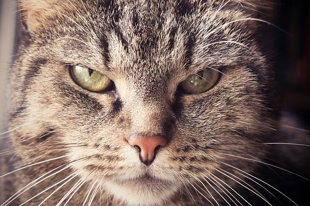 Free photo: Cat, Animal, Pet, Cat'S Eyes - Free Image on Pixabay - 1937001 (32267)