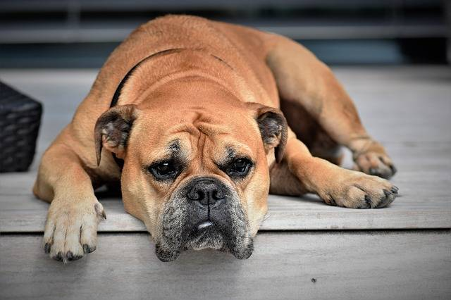 Free photo: Dog, Animal, Continental Bulldog - Free Image on Pixabay - 2437110 (41946)