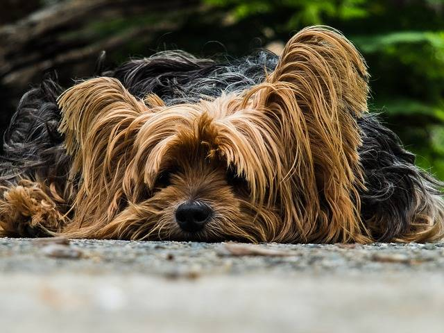 Free photo: Dog, Yorkshire Terrier, Lazy Dog - Free Image on Pixabay - 195877 (44828)
