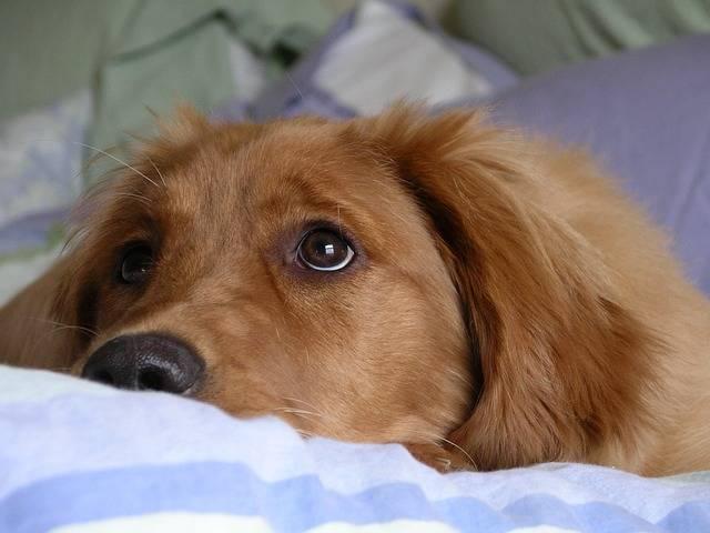 Free photo: Golden Retriever, Big Eyes, Cute - Free Image on Pixabay - 744045 (46081)