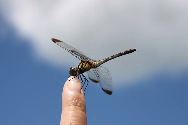 Free photo: Dragonfly, Iwate, Blue Sky, Insect - Free Image on Pixabay - 451756 (47176)