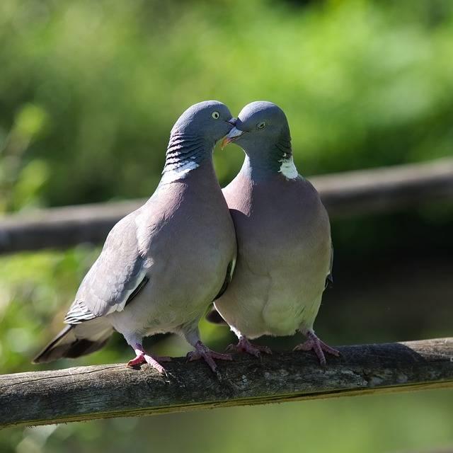 Free photo: Pigeon, Love, Kiss, Romance, Bill - Free Image on Pixabay - 2332702 (47704)