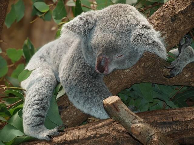 Free photo: Koala Bear, Australia, Teddy, Sleep - Free Image on Pixabay - 9960 (52059)