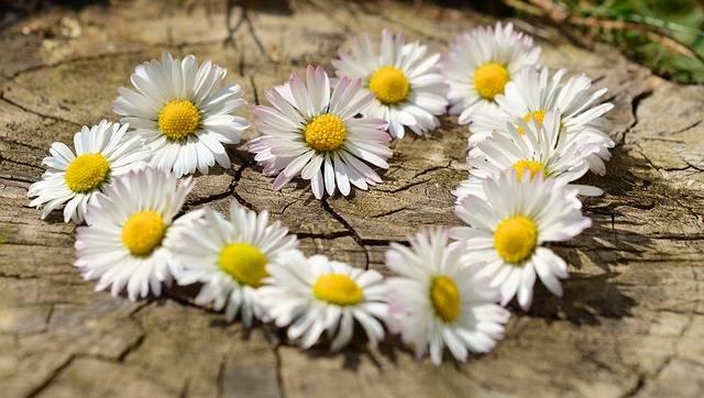 Free photo: Daisy, Heart, Flowers, Flower Heart - Free Image on Pixabay - 712898 (54192)