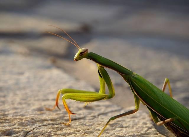 Free photo: Praying Mantis, Insect, Garden - Free Image on Pixabay - 2726233 (56070)