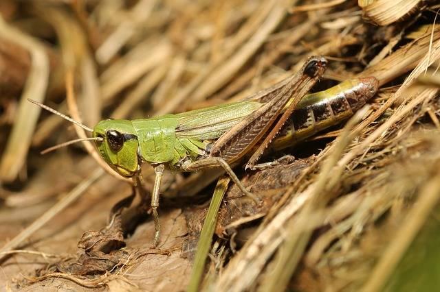Free photo: Grasshopper, Camouflage, Green - Free Image on Pixabay - 2595730 (56087)