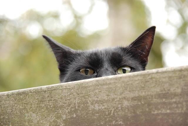 Free photo: Animal, Pet, Cat, Eyes, Peep, Watch - Free Image on Pixabay - 1431573 (56312)