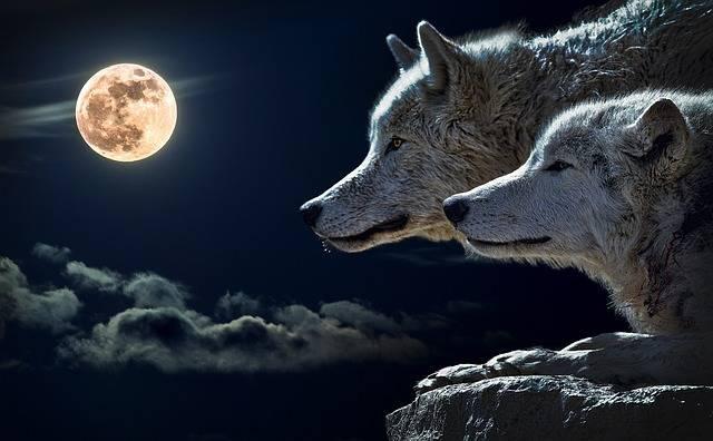 Free photo: Wolf, Torque Wolf, Moon, Cloud, Sky - Free Image on Pixabay - 547203 (61049)