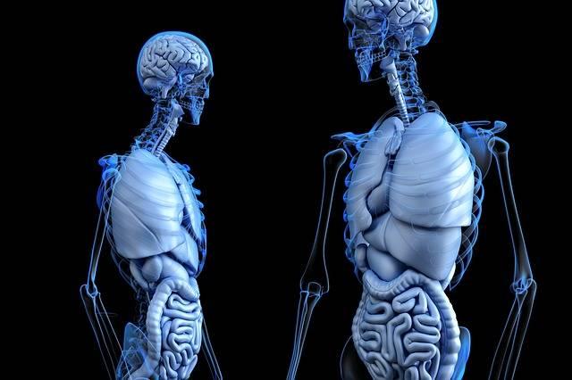 Free illustration: Anatomical, Anatomy, Body, Gut - Free Image on Pixabay - 2261006 (61342)