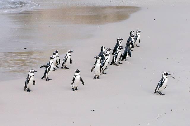Free photo: Penguin, Jackass, Leader, Boss - Free Image on Pixabay - 1719608 (63495)