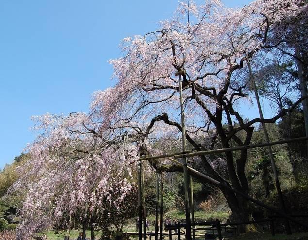 田ノ頭郷のしだれ桜(波佐見町)の桜