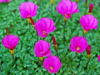 オキザリス 新・花と緑の詳しい図鑑 (71385)