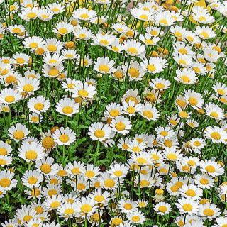 クリサンセマム・パルドーサム 新・花と緑の詳しい図鑑 (71390)