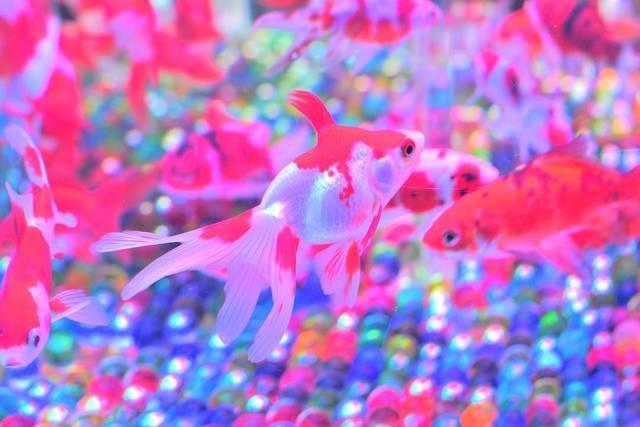 """ま ぃ* な on Instagram: """"アートアクアリウム展に行ってきました。 きれいでした♡ 東京暑すぎて東京駅からコレド室町に行くまでに焼け焦げそうになったわ😇 . #アートアクアリウム #アートアクアリウム展 #金魚 #アートアクアリウム展2018 #コレド室町 #日本橋 #東京 #夏休み旅行 #涼 #夏…"""" (102240)"""