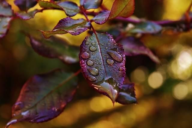 Free photo: Rosenblatt, Drip, Raindrop, Wet - Free Image on Pixabay - 1874042 (17504)